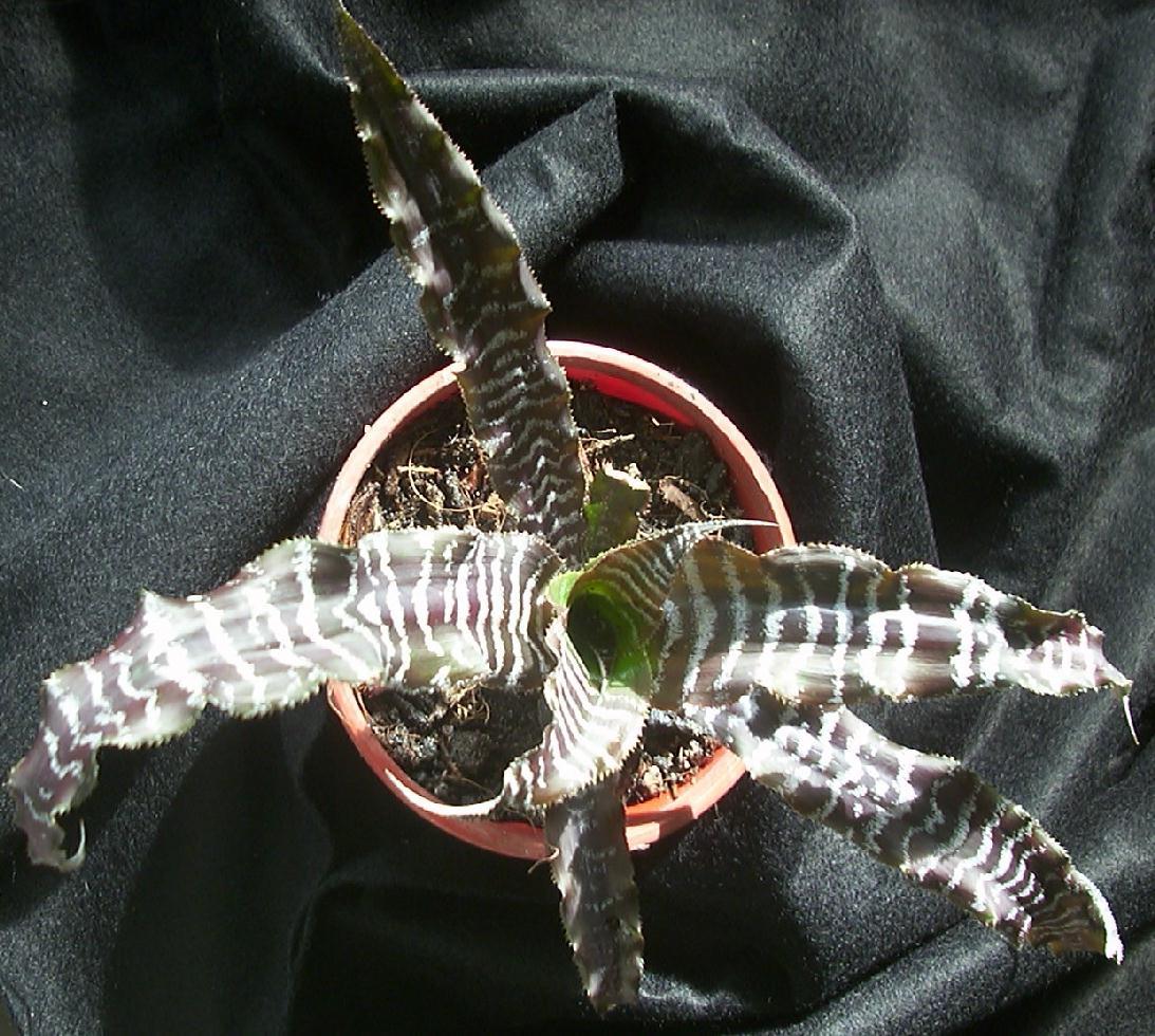 Cryptanthus Black Magic Cryptanthus Black Mystic